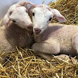 You can pet and interact with lambs at a huge new sheep farm that just opened in Halton Hills