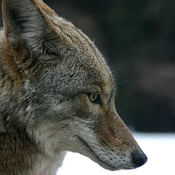 Furry fear-mongering: Coexisting with coyotes (and other wildlife)
