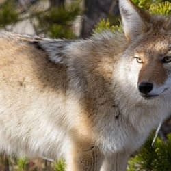Burlington residents reminded to remain vigilant during coyote mating season