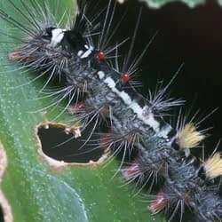 City of Burlington conducting aerial spray application to control gypsy moth infestation